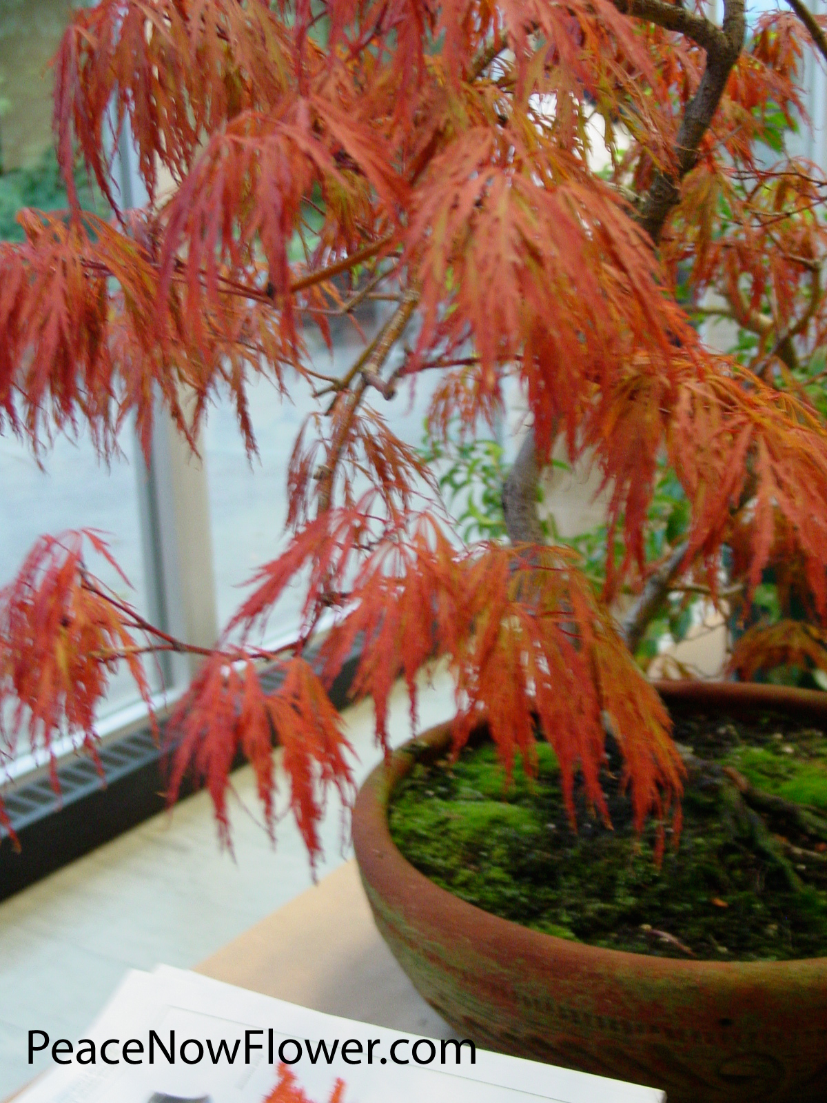 red_maple2